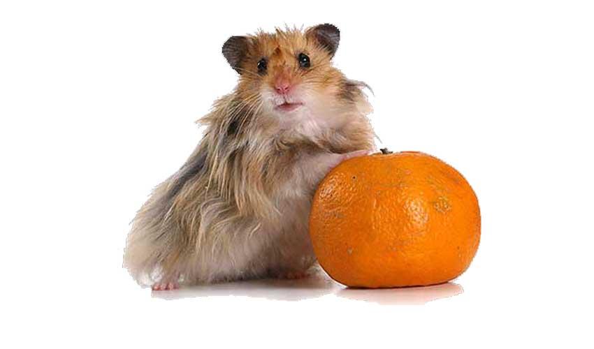 хомяк и апельсин