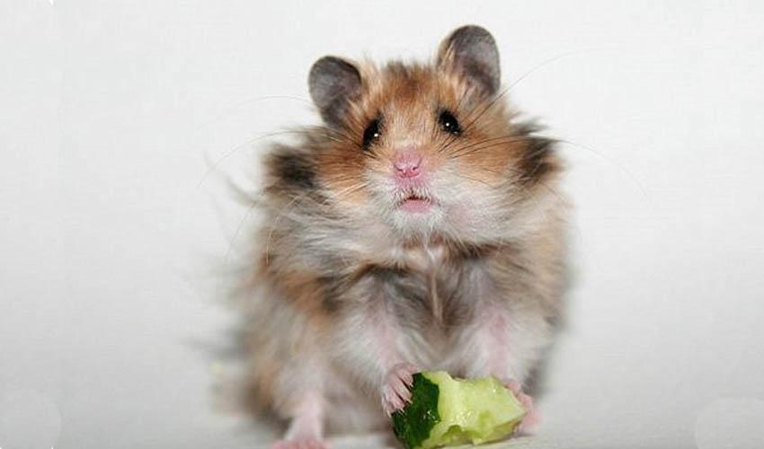 Можно ли хомякам грушу
