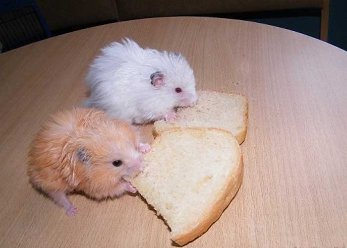 Можно ли хомякам хлеб