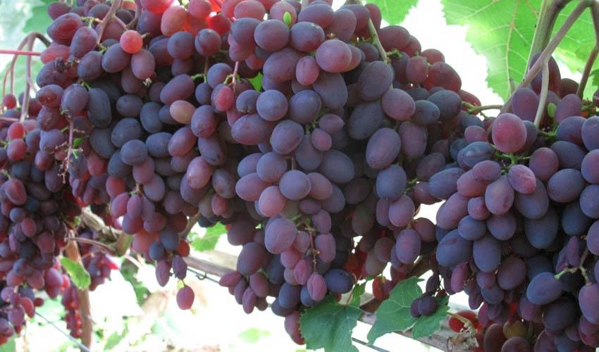 Можно ли хомякам виноград