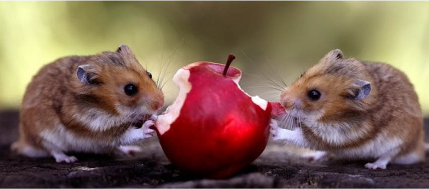 Можно ли хомякам яблоко