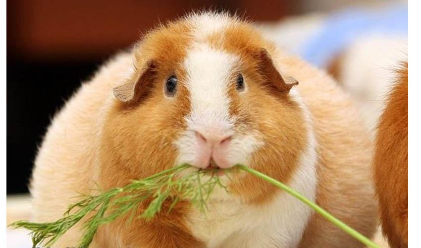 Моская свинка