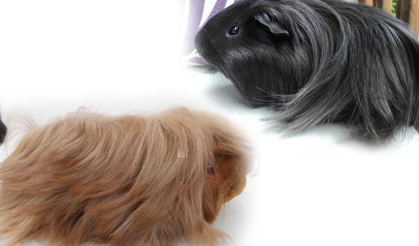 Перуанская свинка