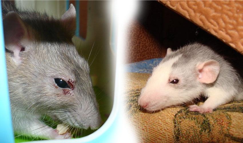 Порфилин глаз у крыс