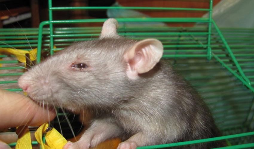 Порфилин у крыс