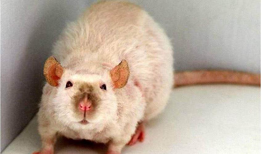 Крысы породы рекс