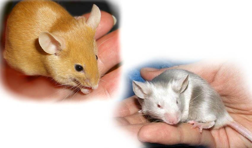 Сатиновые крысы