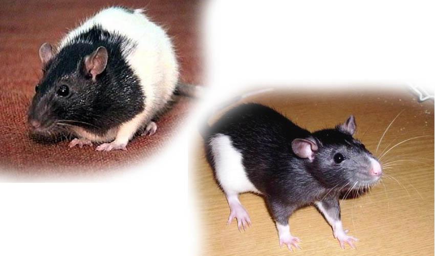 Декоративные крысы породы стандарт
