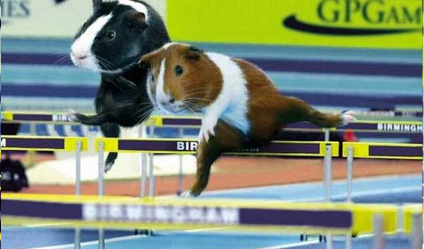 свинка прыгает