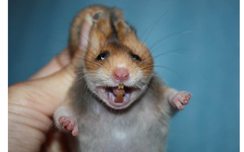 зубы у хомяка