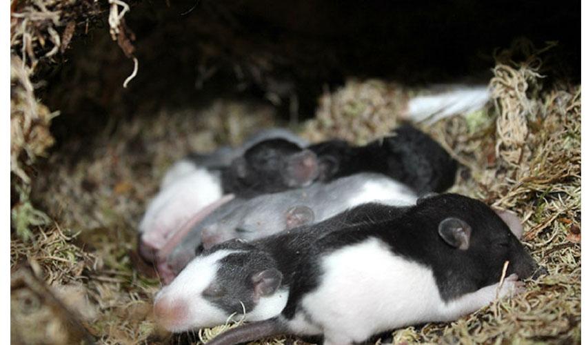 Беременность у крысы