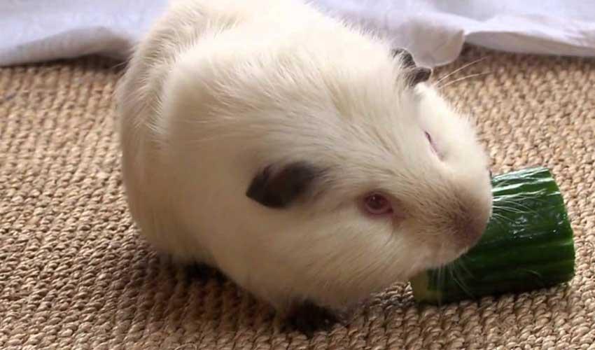 овощи морским свинкам