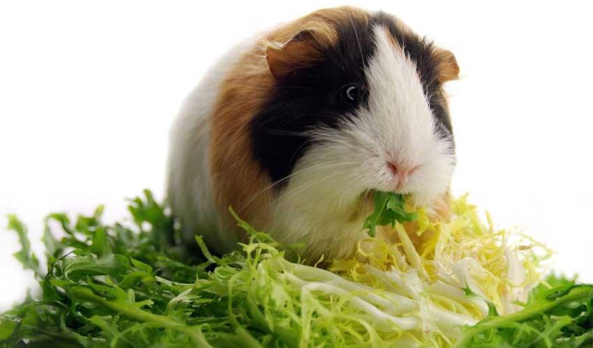 зелень морским свинкам