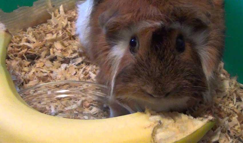 Свинка ест банан