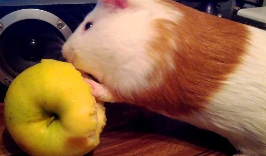 Свинка ест яблоко