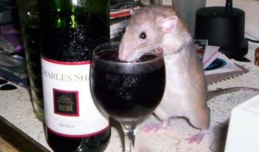 крыса и алкоголь