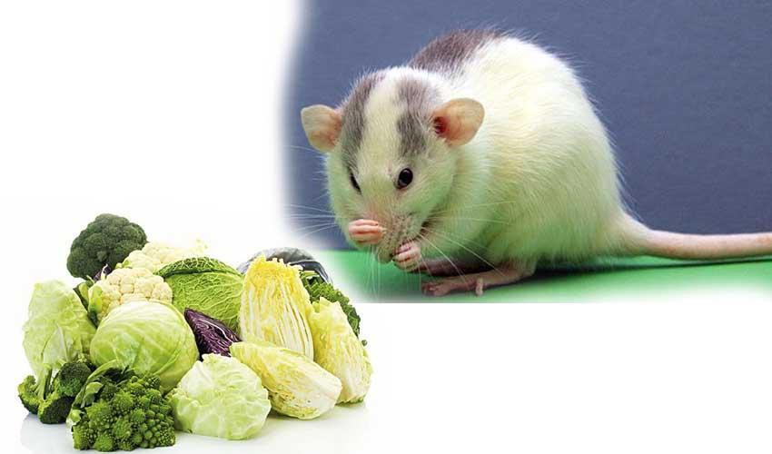 крыса и капуста