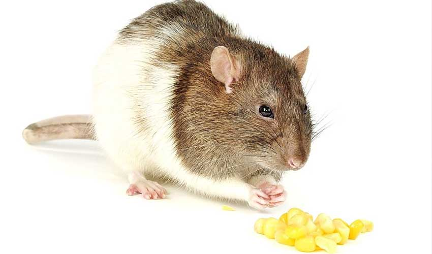 овощи крысам