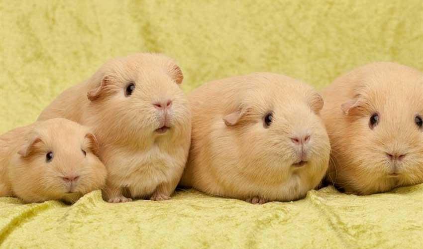 размножение морских свинок