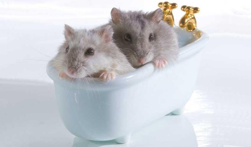 ванночка для хомяка