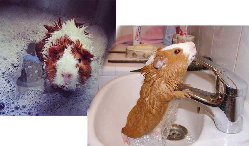 как купать свинку