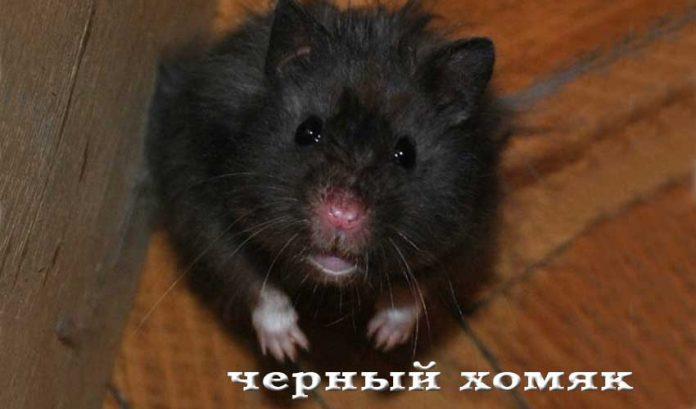Черный хомяк