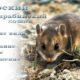 Даурский или барабинский хомяк, описание, уход, содержание, размножение