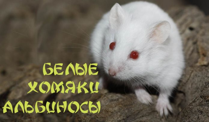Белые хомяки альбиносы