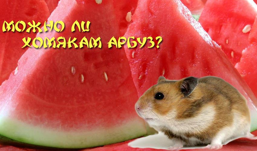 Морским свинкам летом, в сезон можно давать немного арбуза