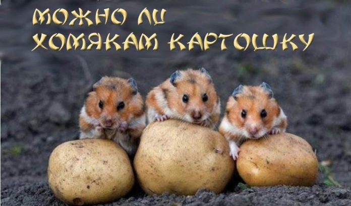 Можно ли хомякам картошку