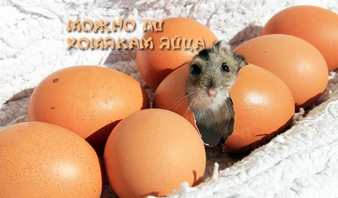 Можно ли хомякам яйца