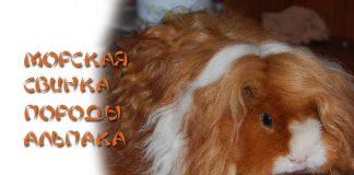 морская свинка породы альпака