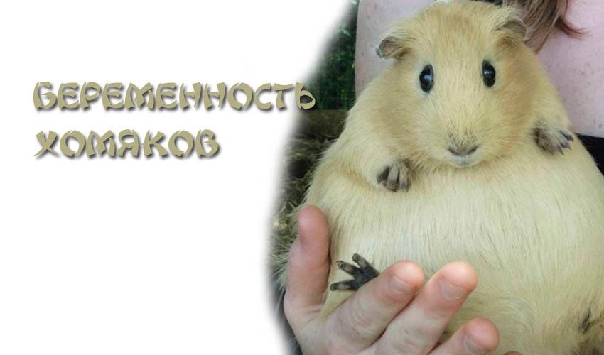 Беременность и роды у морской свинки