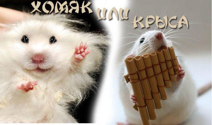 Хомяк или крыса