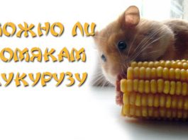 Можно ли хомякам кукурузу