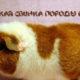 Морская свинка породы Рекс