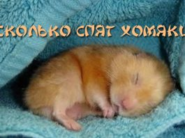 Сколько спят хомяки
