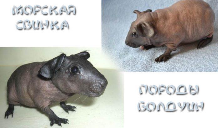 Морская свинка породы Болдуин