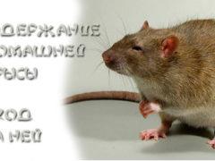 Содержание домашней крысы и уход за ней