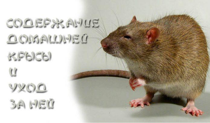 Содержание домашней крысы