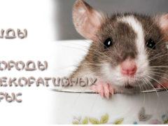 Виды и породы декоративных крыс