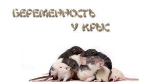 Беременость у крыс