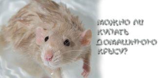 купают ли крыс