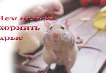 чем нельзя кормить крыс