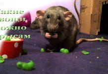 какие овощи можно крысам