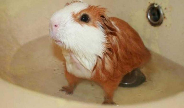 Нужно ли купать морскую свинку