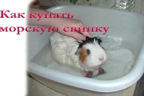 Купают ли морских свинок или как правильно мыть любимую свинку