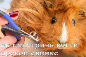 Как подстричь когти морской свинке