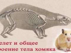 Скелет хомяка и общее строение тела