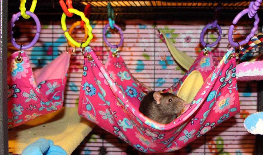 гамаки для крысы